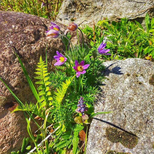 sasanka w Arboretum na dolnym śląsku