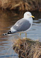 Mew Gull, breeding plumage – Anchorage Coastal Wildlife Refuge, AK – May 2005 – photo by Donna A. Dewhurst, USFWS