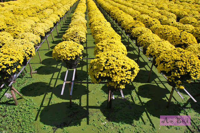 FOWC - Raspberry Chrysanthemum