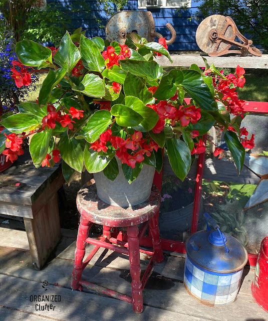 Photo of a dragon wing begonia on a stool