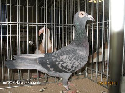 bagdad pigeon - wattle pigeons
