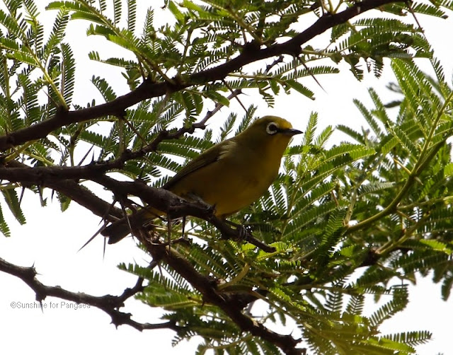 African Montane White-eye (Zosterops poliogastrus) near Addis Ababa
