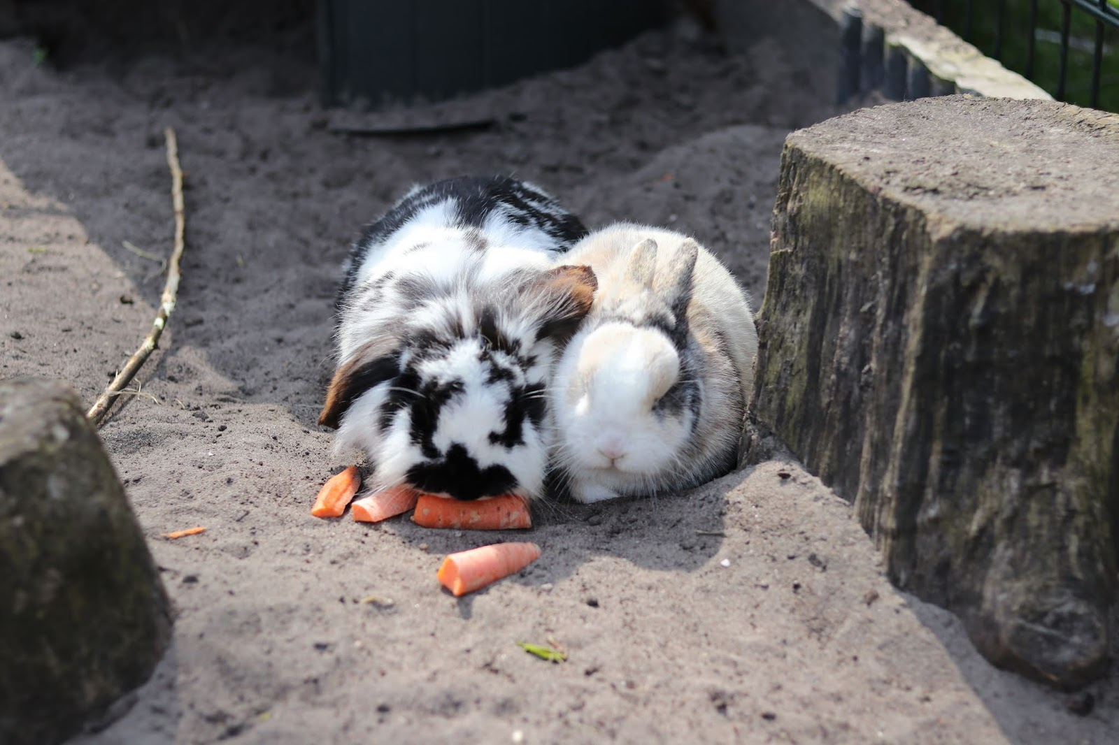 Two bunnies sharing carrots