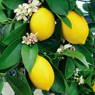 jual-bibit-jeruk-lemon-tea.jpg