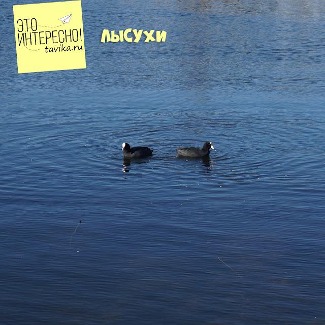 лысуха на озере Кызыл Яр, Крым