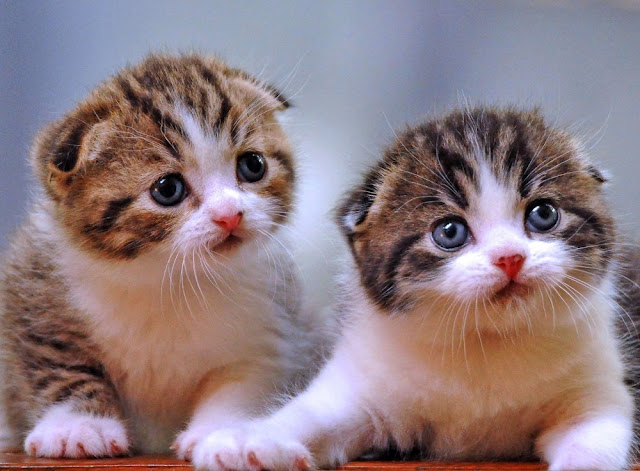 Australia Berencana Bunuh Massal Jutaan Kucing