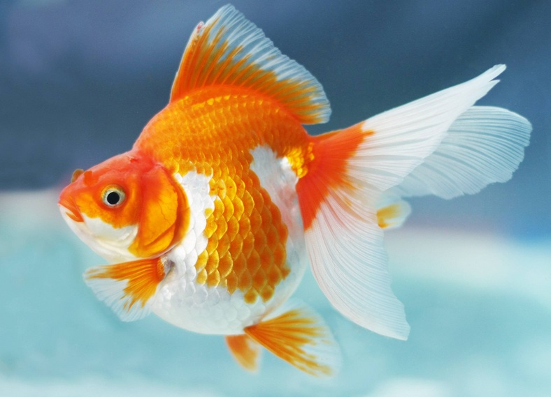 Makalah Ikan Mas Makalah Budidaya Ikan Gurame Slideshare Artikel Tentang Cara Memelihara Ikan Mas Koki Kumpulan Makalah Dan