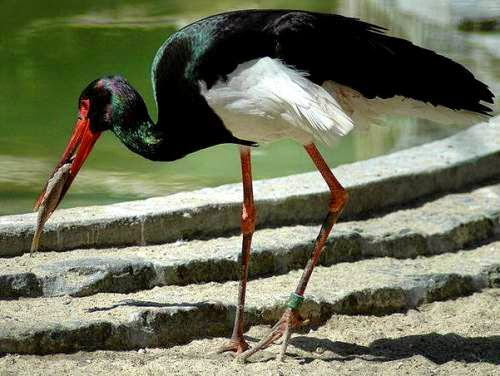 Indian birds - Black stork - Ciconia nigra