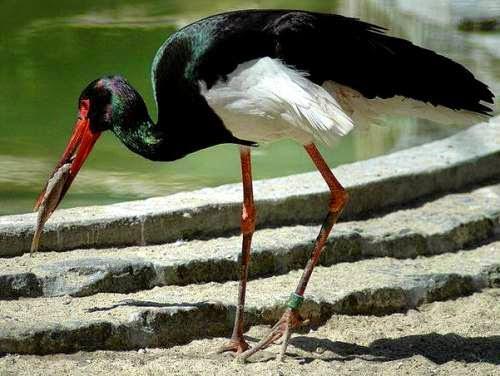 Indian birds - Black stork - Ciconia nigra