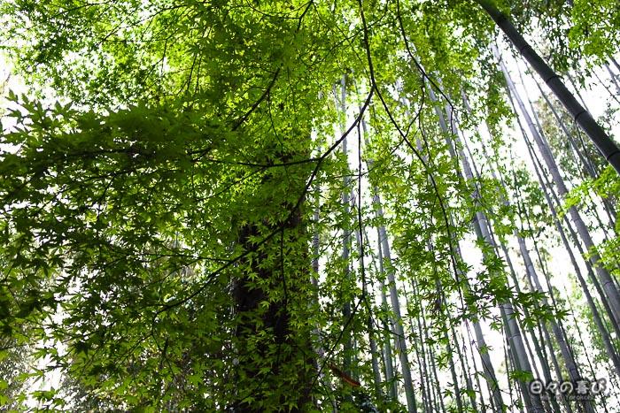 cimes des bambous, bambouseraie d'Arashiyama, Kyoto