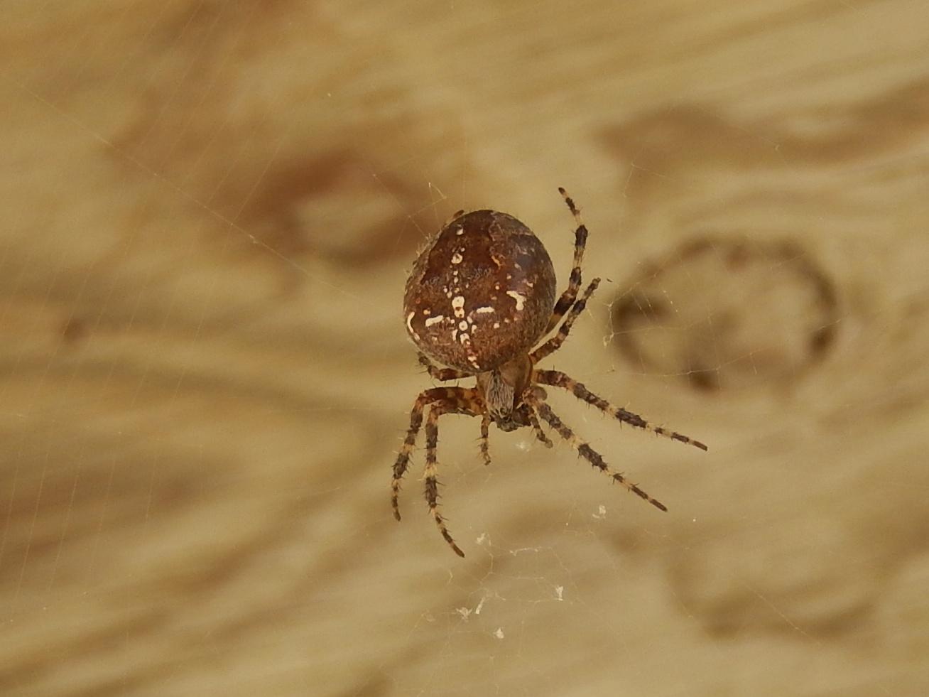 Powell River Books Blog: Coastal BC Spiders: Cross Orbweaver