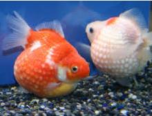 Jenis Jenis Ikan Hias koki Dan Harganya Di Pasaran