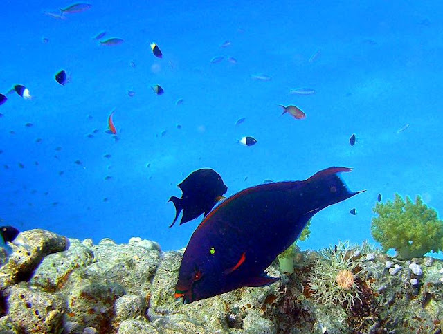swarthy parrotfish, red sea, egypt