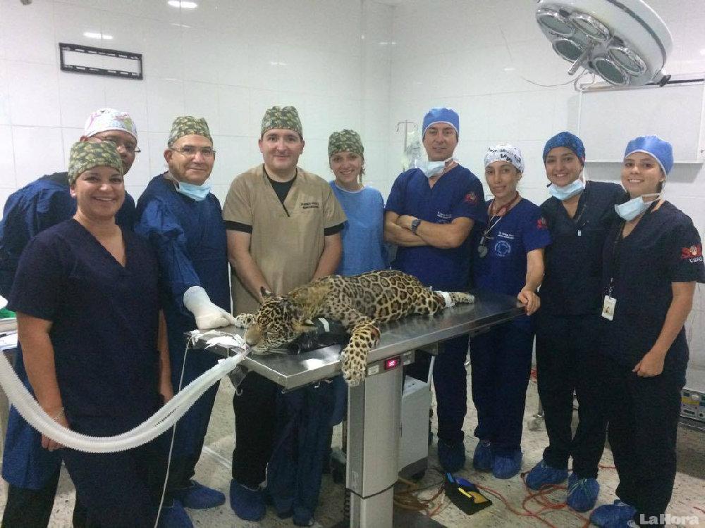 Cirugía exitosa da esperanzas a 'D'yaira', la jaguar
