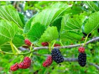 Mulberry fruit health benefits nutrition facts
