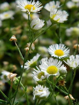 Common fleabane Erigeron philadelphicus Toronto native plants by garden muses-not another Toronto gardening blog