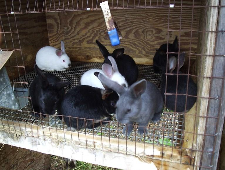Waktu perkawinan kelinci gambar kelinci sedang birahi dan cara menaruh kelinci di dalam kandang