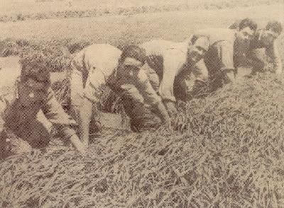 Riberers de Senija durant la sembra de l'arròs.