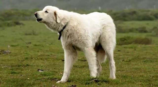 Akbash Dog Breed Info: Price, Characteristics, Aggressiveness & Facts
