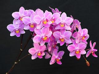 Phalaenopsis x veitchiana - Phalaenopsis equestris x Phalaenopsis schilleriana