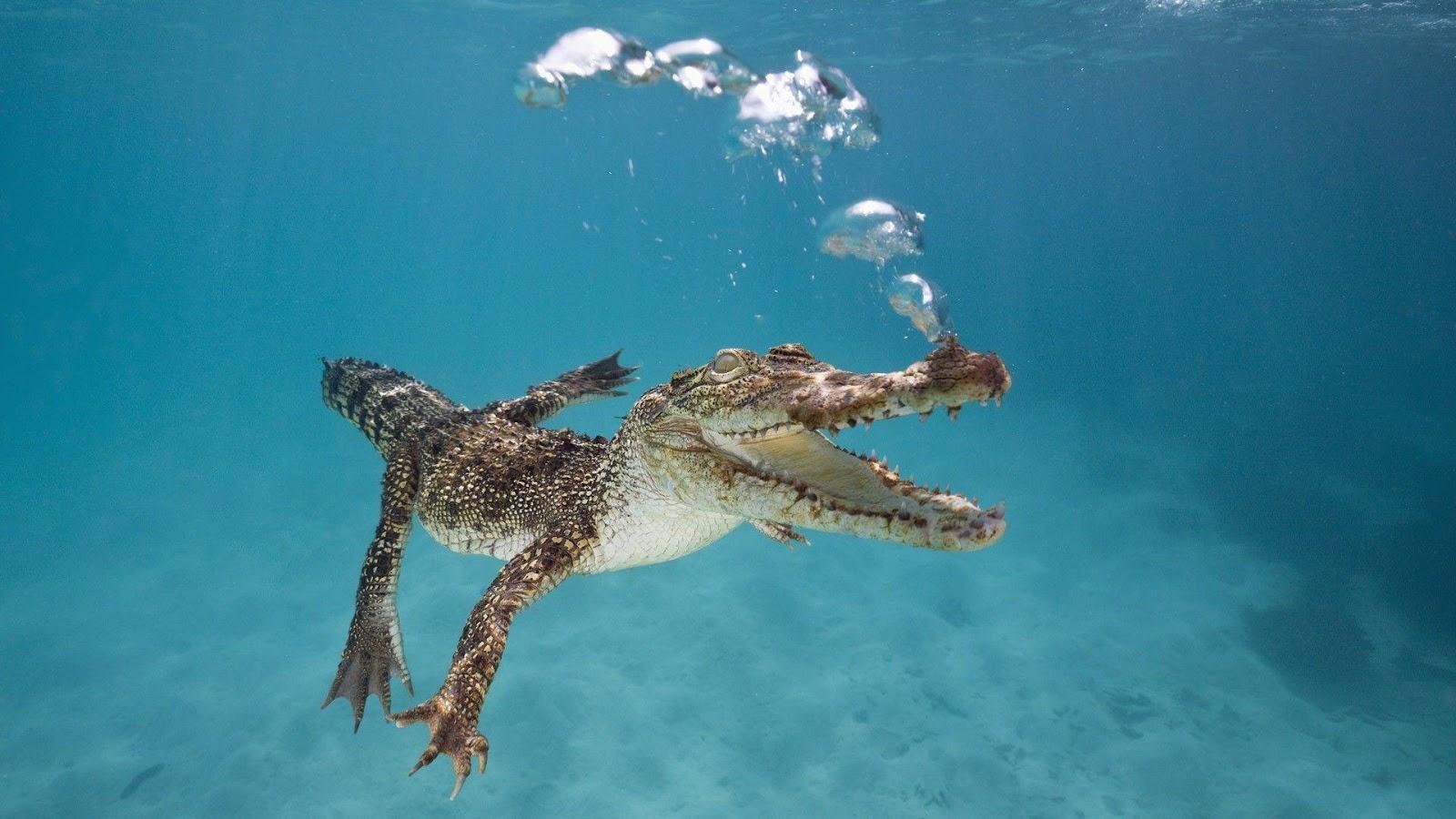 Swimming alligator Wallpapers, animal wallpapers