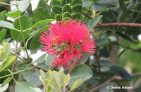 Red 'Ohi'a lehua - Lyon Arboretum, Manoa Valley, Oahu, HI