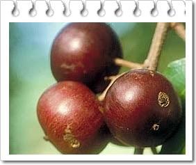 Mengenal buah rukam dan manfaat nya untuk kesehatan