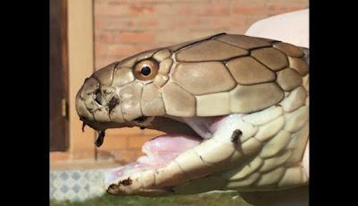 Ular king kobra