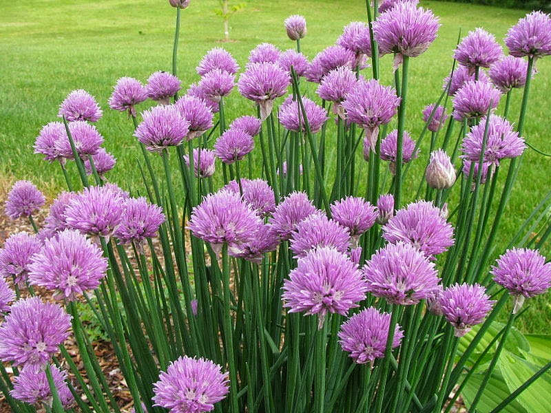Mature chives in bloom