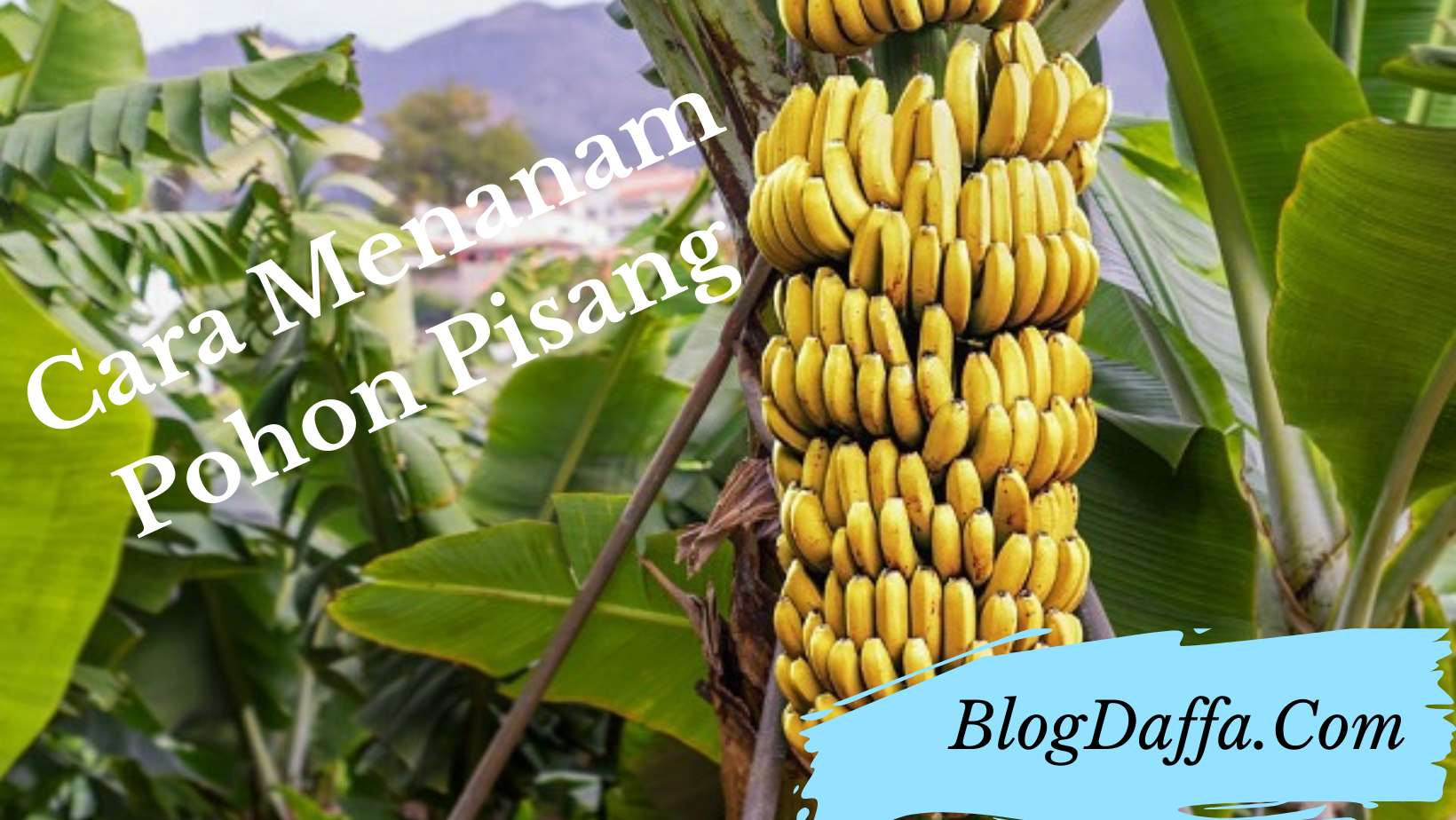 Cara menanam pohon pisang di rumah