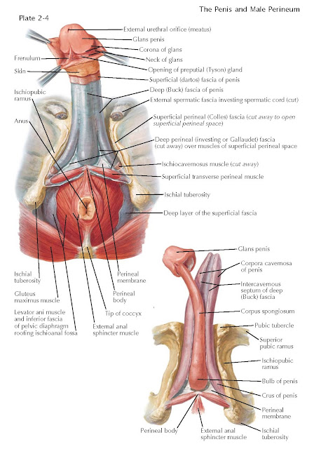 PENILE FASCIAE AND STRUCTURES