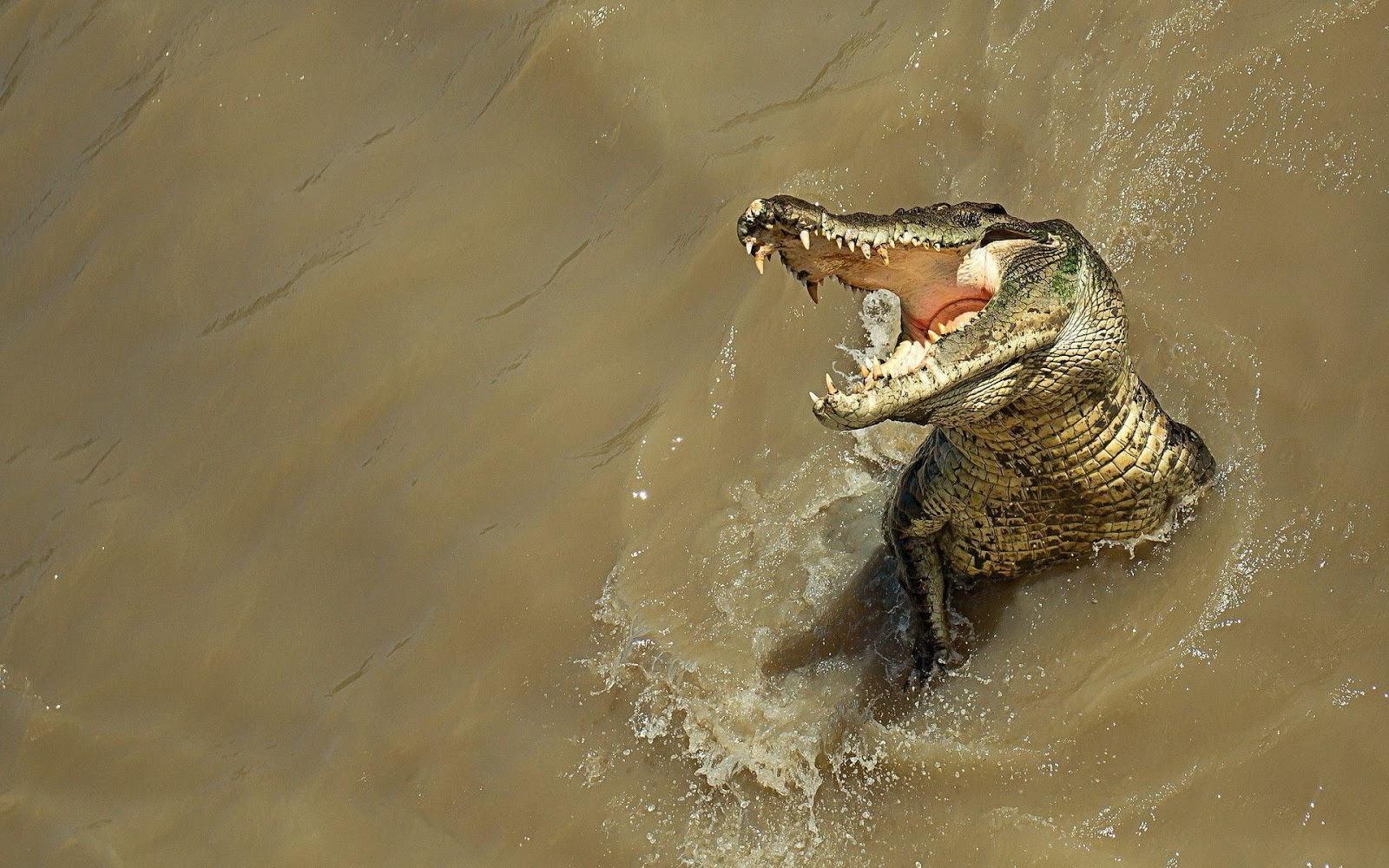 Alligator Computer Wallpapers, Desktop Backgrounds, animal wallpaper