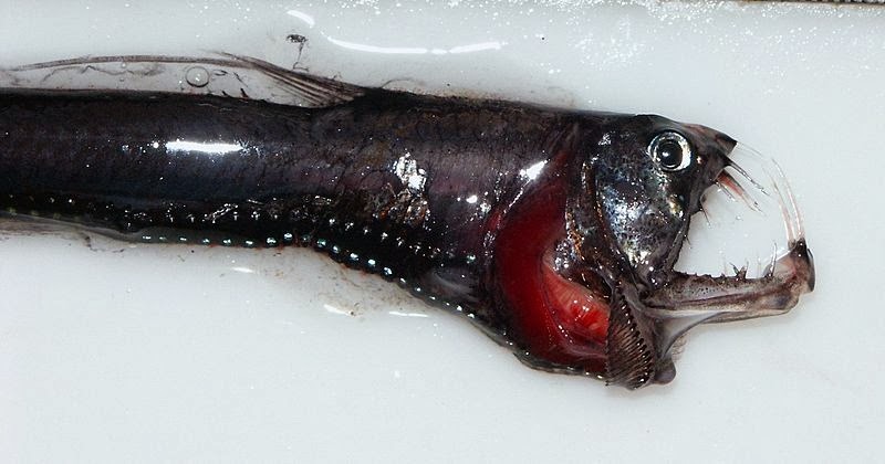 Image of a pacific viperfish