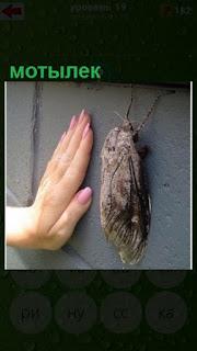 на стене мотылек размером с ладонью человеческой руки