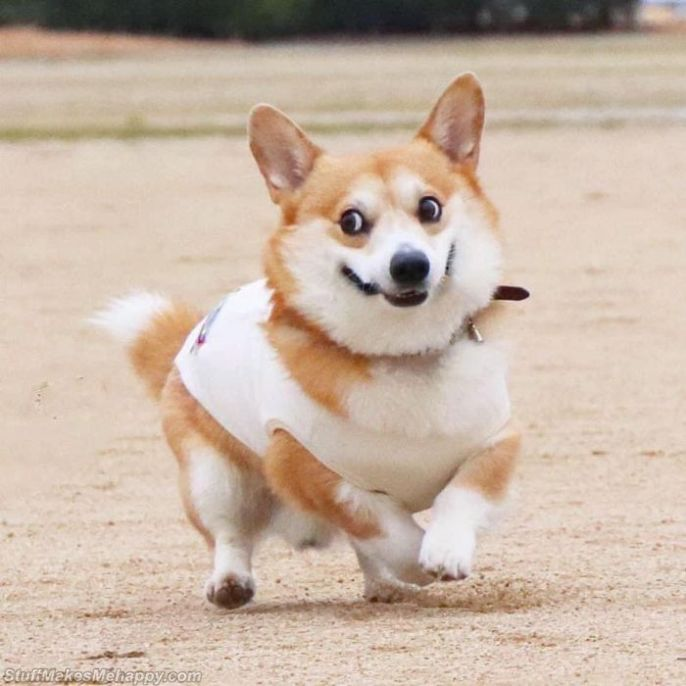 Meet Gen, A Cute Japanese Corgi Pictures With Funny Facial Expressions