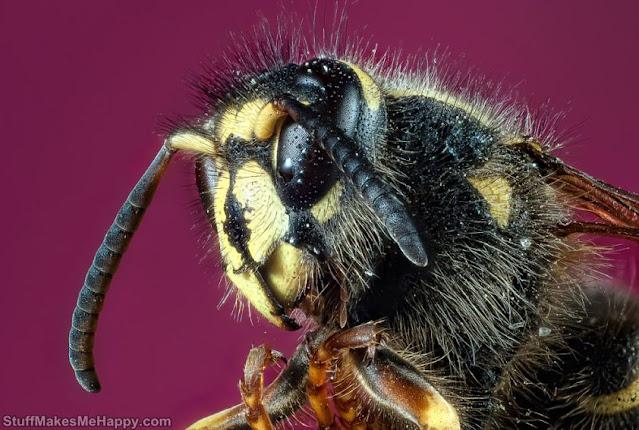 Shaggy Bee