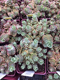 Sedums at High Altitude? Solution: Container Gardening. by Lorrie Redman