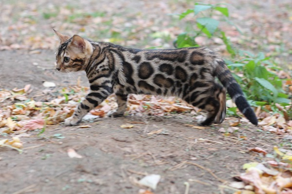 brown bengals for sale