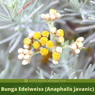 Ciri Ciri Bunga Edelweiss (Anaphalis javanic)