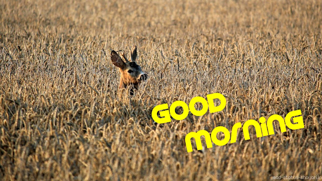 Good morning deer image