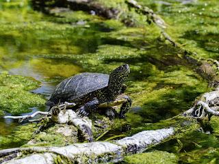 membersihkan-kolam-kura-kura.jpg