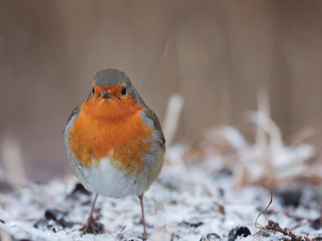 Ein Rotkehkehlchen im Schnee