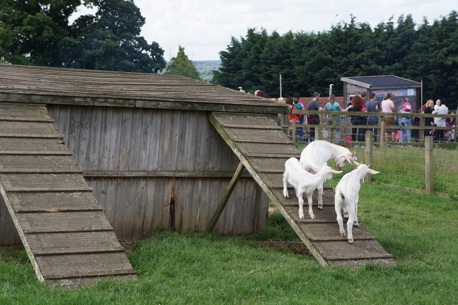 goat climbing on a hut