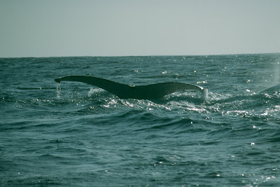 South Africa, whale watching, Garden Rotue, Western Cape