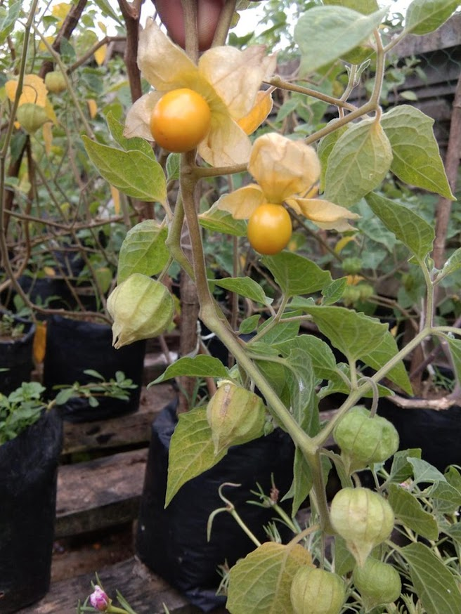 Benih buah ciplukan kuning super manis 30 seed Bontang