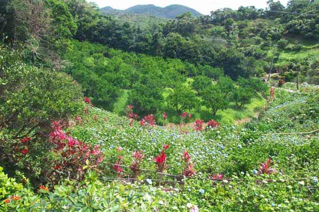 flowers, hills, gardens, Okinawa, Hydrangea