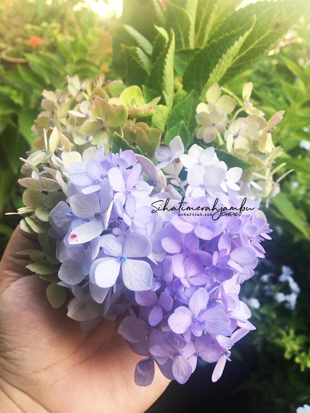 Cara Mengubah Warna Bunga Hydragea Blog Sihatimerahjambu