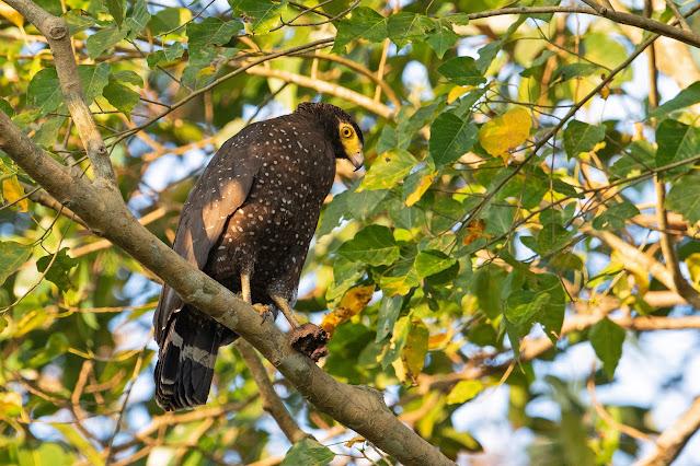 Andaman Serpent-Eagle - Image by Yash Kothiala