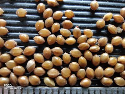 Close-up photo of Little Millet grains.