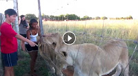 Lions show love to human - Viral Video, Jukin videos, Viral Hog videos from Youtube and facebook, Latest viral videos, Humans Amazing Friendship With Lion, Lion and Human love, lions love man. lion and human friendship lions cuddling man relationship